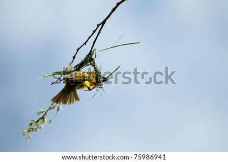 Weaver bird building nest - stock photo