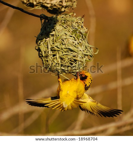 Weaver on nest - stock photo
