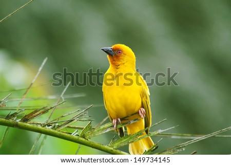 Weaving bird  (Golden Palm Weaver - Ploceus bojeri) perching on palm  - stock photo