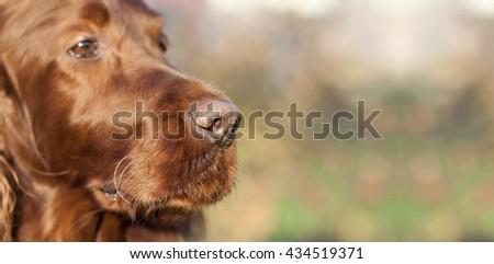 Website banner of a beautiful Irish Setter dog's nose - stock photo