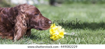 Website banner of a happy Irish Setter dog as smelling flowers