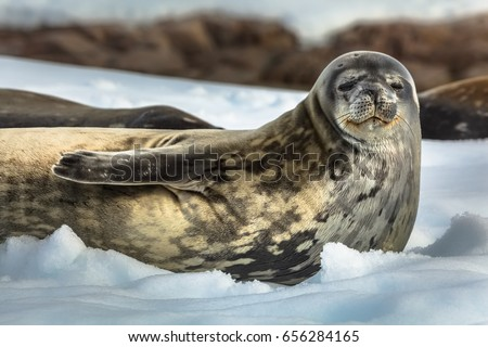 Weddell seal at the shore - Antarctic peninsula