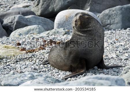 Weddell seal on grey rocks, Antarctica - stock photo