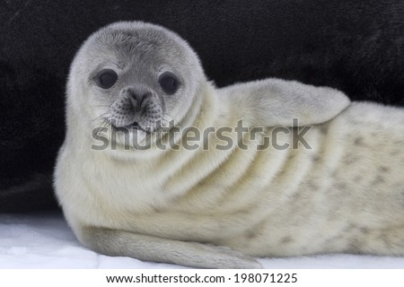 Weddell seal pup near the female on the ice Antarctic - stock photo