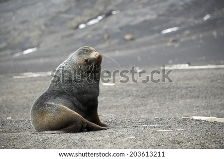 Weddell seal sitting on grey stones,  Deception Island Whalers Bay, Antarctica - stock photo
