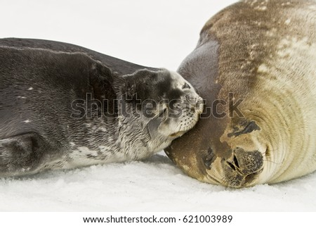 Weddell seal with cub-East Antarctica