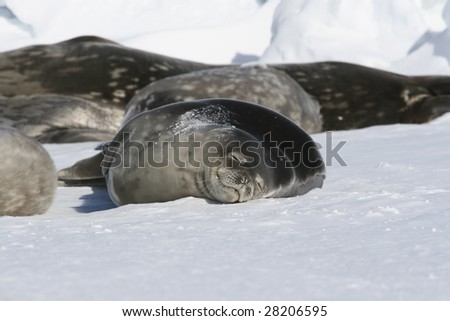Weddell seals resting on the sea ice - stock photo