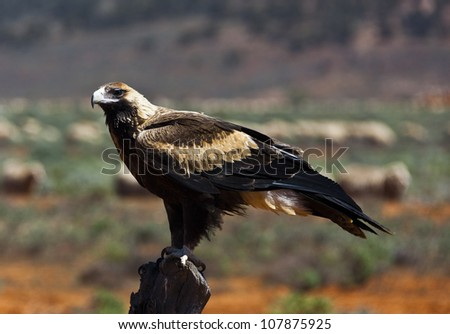 Wedge-tailed Eagle sitting on a fence post in the outback of Australia - stock photo