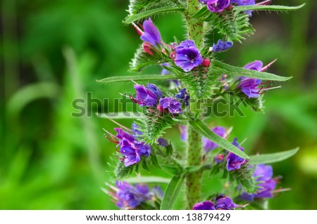 weed with blue flowers - Boraginaceae Echium vulgare