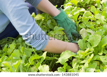 weeding out the radish field - stock photo