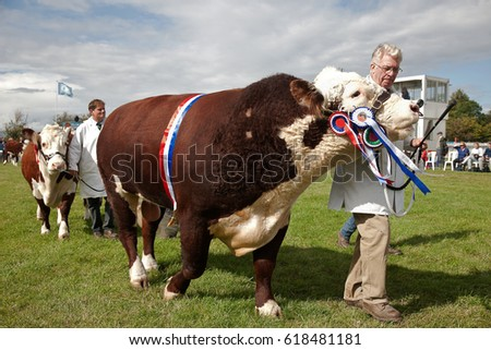 WEEDON, UK - AUGUST 27: A handler shows off his champion bull in the main show arena during the Grand Livestock parade at the Bucks County show on August 27, 2015 in Weedon
