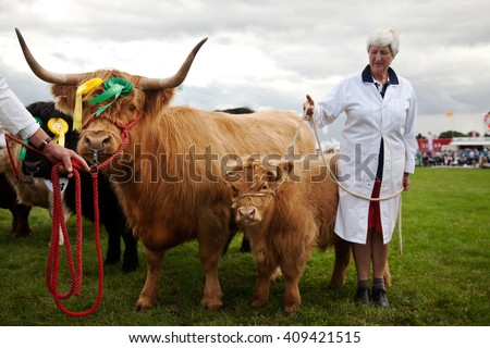 WEEDON, UK - AUGUST 27: Champion Highland Cattle are held by the handlers for the judges to view in the Grand Finale Parade at the Bucks County Show on August 27, 2015 in Weedon