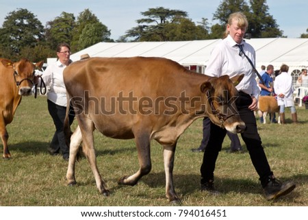 WEEDON, UK - SEPTEMBER 1: The handler of a Jersey cow leads the animal around the showroom during the Grand livestock finale parade at the Bucks County Show on September 1, 2016 in Weedon