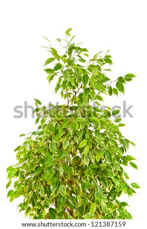 Weeping Fig (Ficus Benjamina) isolated on white background - stock photo