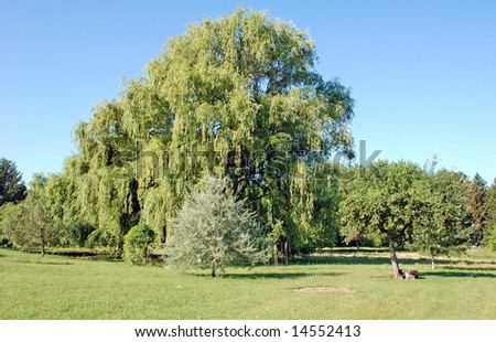 Weeping Trees - stock photo