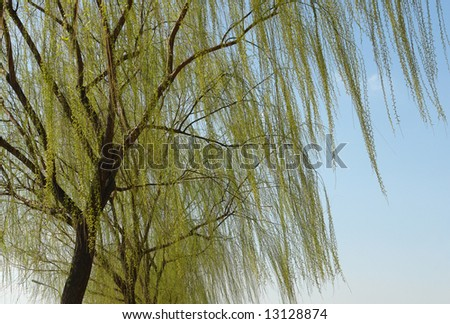 Weeping willow in movement - stock photo
