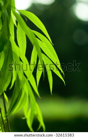 weeping willow lush foliage in the garden - stock photo