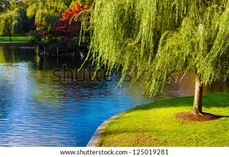 Weeping willow tree by a blue lake. Location: Boston, Massachusetts - stock photo