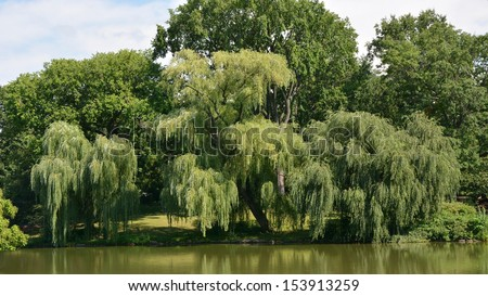 Weeping willow tree in Central park - stock photo