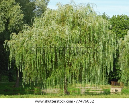 weeping willow tree stock images, royaltyfree images  vectors, Natural flower