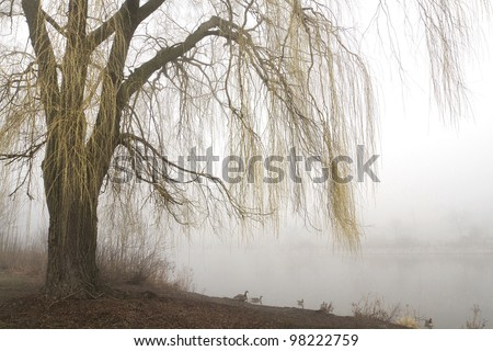 Weeping willow tree with yellow branches in early spring overhangs a misty lake. Horizontal with copy space. - stock photo