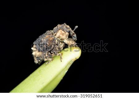 weevil - stock photo