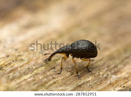 Weevil on wood, high magnification - stock photo