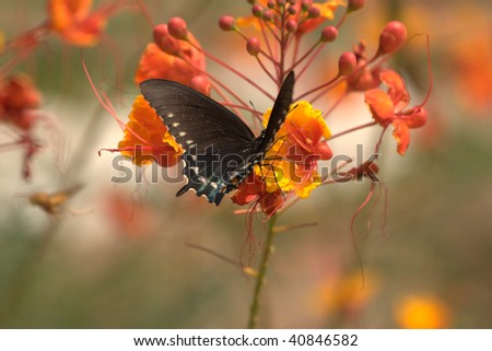 Weidemeyer's Admiral Butterfly (Limenitis weidemeyerii), sitting on vividly colored yellow, orange, and red colored flowers. - stock photo