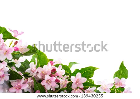 Weigel beautiful blooming flowers on a white background - stock photo