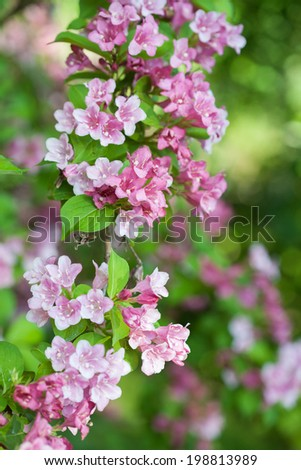 Weigela  a perennial shrub is shown here in full bloom. - stock photo