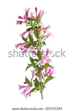 Weigela flower blooming on branch isolated on white background - stock photo