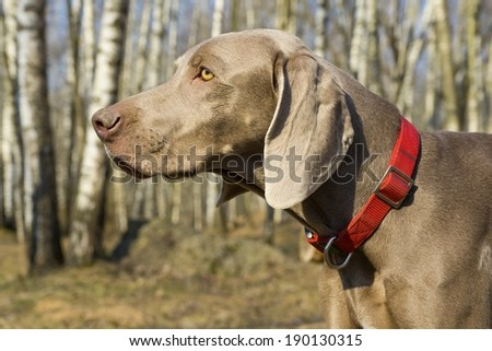 Weimar pointer - stock photo