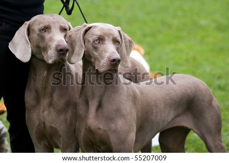 Weimaraner breed dogs couple at show - stock photo