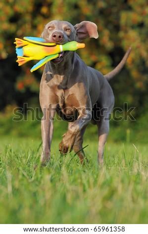 Weimaraner brings happily his duck - stock photo