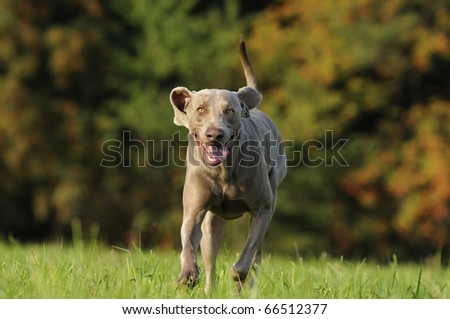Weimaraner comes fast and happily