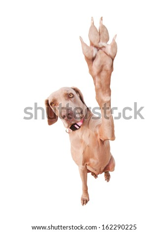 Weimaraner dog doing a high five with her paw, focus on eyes, isolated on white - stock photo