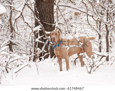 Weimaraner dog in deep snow - stock photo