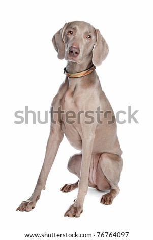 weimaraner dog in front of a white background - stock photo