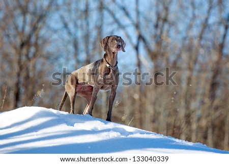 Weimaraner dog in winter forest - stock photo