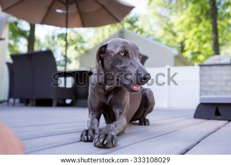 Weimaraner Dog laying on a deck looking - stock photo