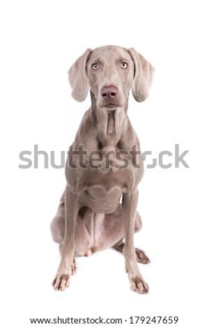 Weimaraner dog on a white background - stock photo
