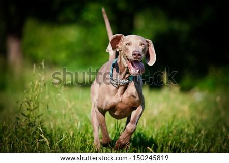 Weimaraner dog on nature - stock photo