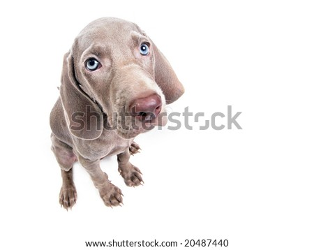 Weimaraner dog puppy over white background