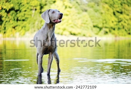 weimaraner dog puppy trick in autumn nature - stock photo