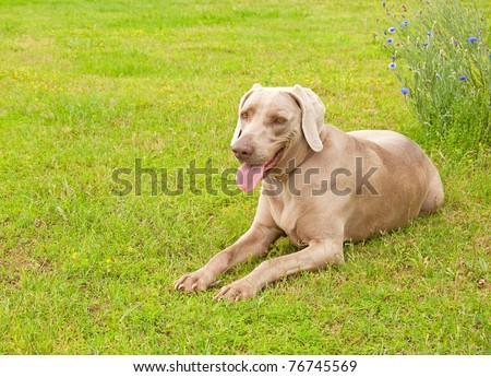 Weimaraner dog resting on green spring grass looking at the viewer - stock photo