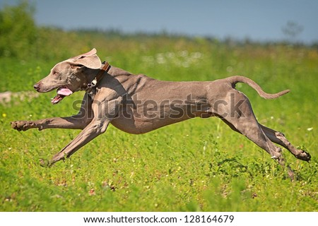 Weimaraner dog run in field - stock photo