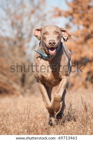 Weimaraner dog running on a dry grass field toward the viewer - stock photo