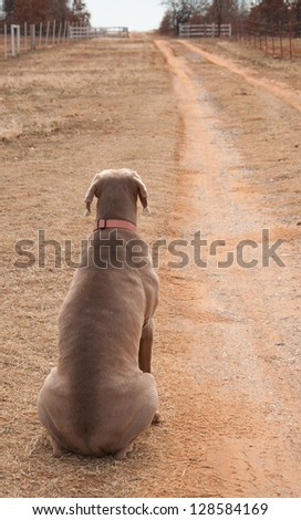 Weimaraner dog sitting on the side of a driveway, looking up the road and waiting - stock photo
