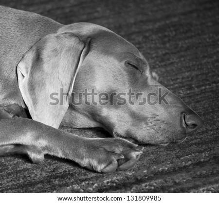 Weimaraner Dog Sleeping - stock photo