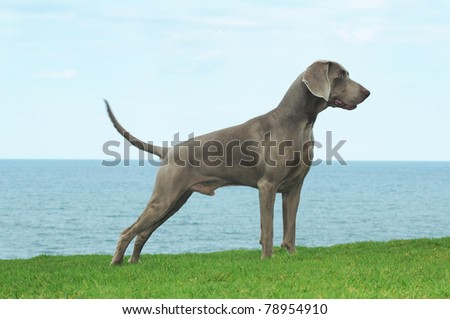 Weimaraner dog stands on grass with sea background - stock photo